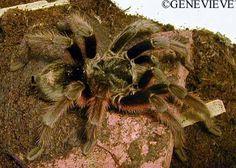 Arañas mas comunes como mascota (Grammostola).