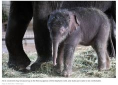 And this is a brand-new elephant. This Year's 45 Most Lovable Baby Animal Pictures Elephant World, Asian Elephant, Elephant Love, Baby Animals Pictures, Cute Baby Animals, Animal Pics, Funny Animals, Beautiful Creatures, Animals Beautiful