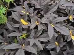 ornamental sweet potato