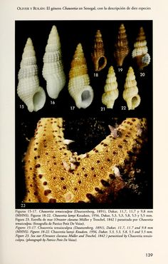 The species of the genus Chauvetia (Gastropoda, Neogastropoda) from the Dakar area, Senegal, West Africa, with the description of ten new species