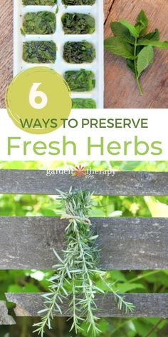 Drying herbs is a perfectly fine way to store your garden-fresh flavorings for use throughout the year, but it isn't the only game in town. You can preserve herbs in many creative ways that can add some lift to your cold-weather culinary creations. Freshly preserved garden herbs also make wonderful gifts that are beautiful and personal. #gardentherapy #ediblegarden #herbs #recipes #herbgarden Preserve Fresh Herbs, Drying Herbs, Edible Garden, Herb Garden, Garden Projects, Preserves, Cold Weather, Harvest, Therapy