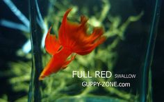 Full red swallow tail guppy fish.
