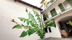 Artist Mona Caron (previously) has been honoring an unlikely subject in a beautiful series of outdoor murals---dandelions, stinging nettles, and other weeds. Caron has created the murals in her hom...