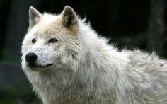 animals brown eyes outdoors white wildlife wallpaper (#50158) / Wallbase.cc