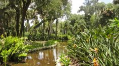 Birds of Paradise echo the orange koi found in the winding pond at Washington Oaks Gardens State Park in Palm Coast.