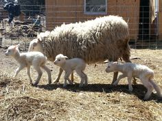 Finnsheep are also known as Finns, and Finnish Landrace Sheep, and hail from Finland. This breed is several hundred of years old, but was only brought to ...