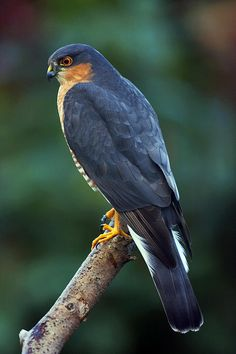 Male Sparrowhawk by Paul Scoullar #birds of prey