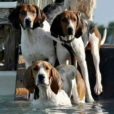 coonhounds beautiful!