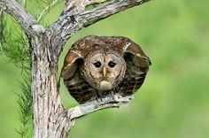 Barred Owl~