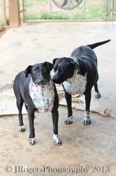 ★3/1/15 SL★ Dot & Pepper - Black Labrador Retriever & Dalmatian Mix • Senior • Female • Large Rescue K9-1-1 Camp Hill, AL Dot & Pepper are a special Mother/Daughter team. Approx 7 & 9 years of age. Very bonded to each other. Dot the Mama is heartworm positive and has had some type of head trauma. Pepper is always by her side to watch over and help her along. Looking for a special home for these two where they can stay together and receive the extra love and care they so desperately need...