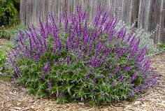 Santa Barbara Salvia - Full sun, attracts butterflies and humming birds, not native to TX