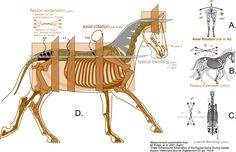 3 D Movements of the Horse's Back: Lateral Bending, Flexion/Extension and Axial Rotation