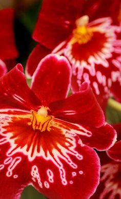 "Miltonia, also known as ""Pansy Orchids"""