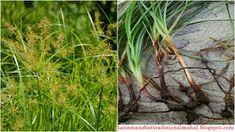 Manfaat dan Khasiat Rumput Teki Dan, Plants, Plant, Planets