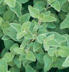 David's Garden Seeds Herb Oregano Greek (Green) 200 Non-GMO, Open Pollinated Seeds