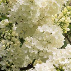 Jalosyreeni Mme Lemoine - Viherpeukalot Climbers, Shrubs, Spring, Garden Ideas, Trees, Gardens, Yard, Seasons, Make It Yourself