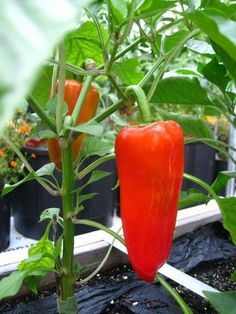 Peppers Growing Nicely.  If you click this photo you'll find 101 Gardening Secrets that the experts never told you. All kinds of great vegetable garden information. Just click the photo.
