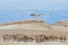 אורחת גמלים בלב מדבר יהודה (צילום: ישראל ברדוגו)