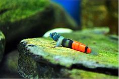 Freshwater Gobies on Pinterest | Freshwater Fish, Tropical ...