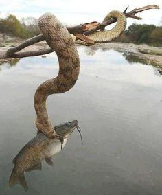 4. Esta serpiente de agua de diamantes que come bagres.
