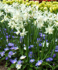 Narcissus Thalia - Triandrus Narcissi - Narcissi - Flower Bulb Index