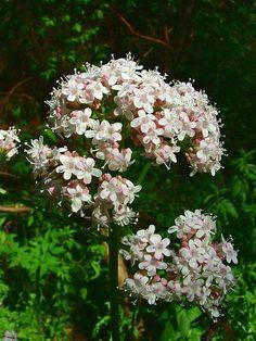 VALERIAN - BALDRIAN - VALERIANA (Valeriana officinalis)