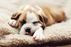 The major breeds of bulldogs are English bulldog, American bulldog, and French bulldog. The bulldog has a broad shoulder which matches with the head. Boxer Puppies, Cute Puppies, Cute Dogs, Dogs And Puppies, Doggies, Rottweiler Puppies, Chihuahua, Baby Animals, Funny Animals