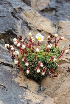 Amazing Unusual Plants To Grow In Your Garden Rock Flowers, Flora Flowers, Wild Flowers, Lotus Flowers, Cacti And Succulents, Planting Succulents, Planting Flowers, Alpine Flowers, Alpine Plants