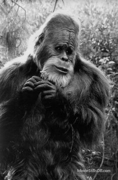 Is Bigfoot real? For centuries, people have reportedly seen this mythical, huge primate-like animal in the woods of North America. Here's the truth about Bigfoot and Sasquatch sightings. Real Bigfoot, Finding Bigfoot, Bigfoot Sasquatch, Bigfoot Toys, Mythical Creatures List, Bigfoot Pictures, Harry And The Hendersons, Pie Grande, Bigfoot Sightings