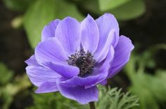 Information On Care Of Anemone Plants - Anemone plants have low-clumping foliage and colorful blooms. Often referred to as windflowers, these carefree plants are commonly found dotting the landscapes of many home gardens. There are several types of anemones, both spring-flowering and fall-blooming varieties.