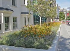 Street planter with black-eyed Susans and lavender, 18th and F Streets, N.W., Washington, D.C.