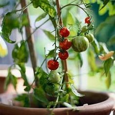 Some good things to keep in mind this year when growing tomatoes in containers.