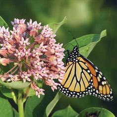 How to Help Save the Monarch Butterfly - Nature and Environment