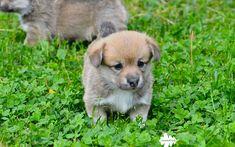 Welsh Corgi Cardigan, 4k, puppy, cute animals, green grass, small dog