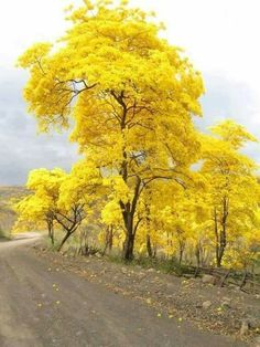 The National Tree of Venezuela, bursts forth into blazing yellow to announce the rainy season is about to begin. Beautiful World, Beautiful Places, Beautiful Pictures, Beautiful Roads, Beautiful Beautiful, Parks, Yellow Tree, Autumn Scenery, Autumn Trees