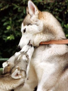 Two Dogs, Siberian Husky Breed, Play with Each Other Photographic Print from AllPosters.com - $29.99