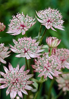 Astrantia major (Masterwort) is a European native Types Of Flowers, Love Flowers, My Flower, Beautiful Flowers, Astrantia Major, Astrantia Flower, Garden Shrubs, Garden Plants, Blossom Garden