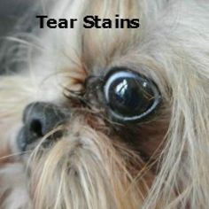 Oh, those ugly tear stains.  http://miracleshihtzu.com/grooming-the-shih-tzu.html