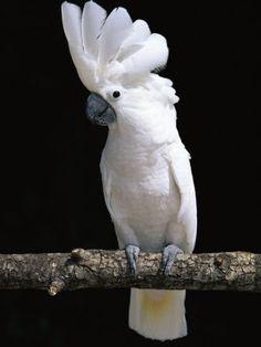 White or Umbrella Cockatoo. Animals/birds that start with W (white). Animals/birds that start with U (umbrella). Animals/birds that start with C (cockatoo) Tropical Birds, Exotic Birds, Colorful Birds, Pretty Birds, Beautiful Birds, Animals Beautiful, All Birds, Love Birds, Animals And Pets