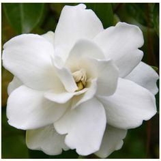 Remember Aunt Ruth wearing this aromatic flower on her dress at her son's wedding!