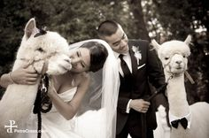 When I asked Will whose idea was to bring in the alpacas, his eyes moved slowly towards his bride. Peru Wedding, Wedding Day, Got Married, Getting Married, Cute Alpaca, Alpacas, Girls Dream, Invitations, Invite
