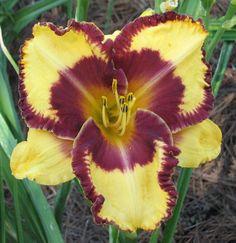 Photo of Daylily (Hemerocallis 'Joe M. Langdon') uploaded by tink3472