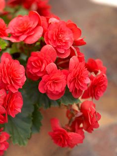 Tuberous Begonia 'Solenia Cherry' - A bold choice for baskets or containers in spots that are shady.