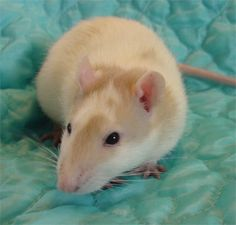 pet rat. She looks so much like Fionna!!