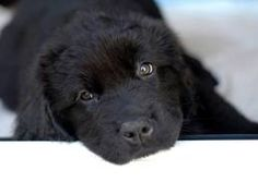 16231 Best Newfoundland Dog Images In 2020 Newfoundland
