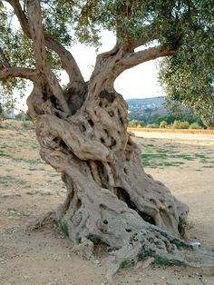 Best old olive tree trunks Ideas Trees And Shrubs, Trees To Plant, Dame Nature, Unique Trees, Old Trees, Tree Roots, Tree Trunks, Tree Sculpture, Nature Tree