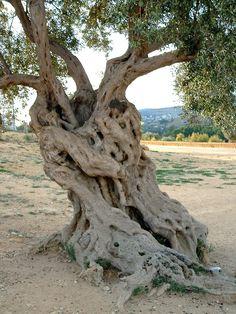 un arbre du soleil... Quel âge, difficile à dire, mais il se compte en centaines d'années.  Archives, Sicile, Italie, 2005.