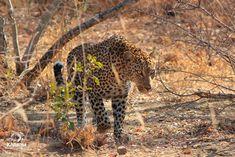Lucky Day | Kapama Blog Rhino Poaching, Male Lion, Camping Coffee, Lucky Day, Hyena, Beautiful Morning, Gentle Giant, Leopards, Impala