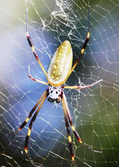 Golden Orbe Spider, costa rica wildlife
