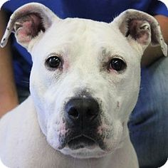 Huntley, IL - American Bulldog/American Staffordshire Terrier Mix. Meet Sandy a Dog for Adoption.
